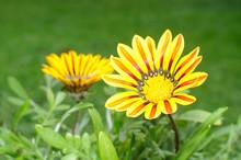 Beautiful Gazania Flowers On F...