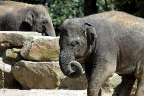 Foto op Canvas Olifant Asian elephant