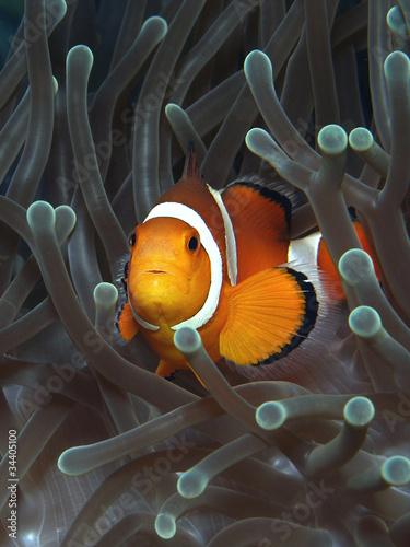 Fotografie, Obraz  Anemonenfisch in seiner Anemone