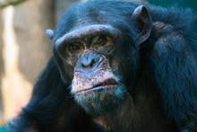 Closeup Of Angry Chimpanzee