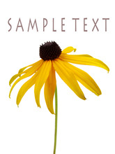 Isolated Brown Eyed Susan