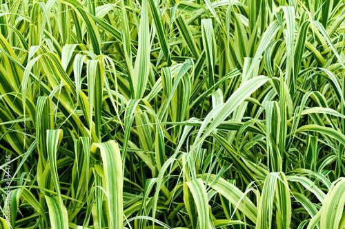 Fotografie, Obraz  high ornamental grass