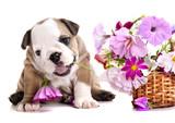 Fototapeta Dogs - english Bulldog puppy