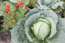 Together Growing Cabbage And F...