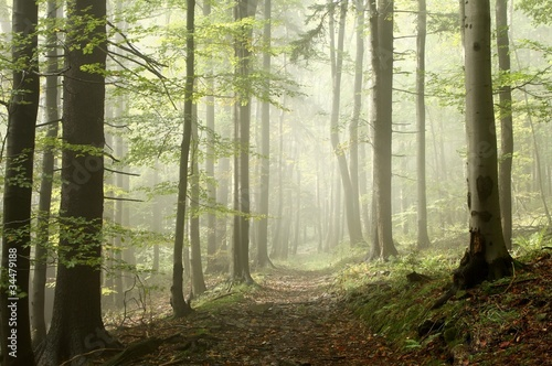 Papiers peints Foret brouillard Forest trail among the deciduous and coniferous trees