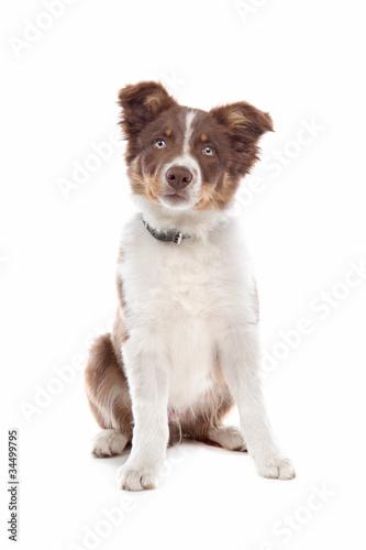 Fototapeta border collie puppy obraz na płótnie