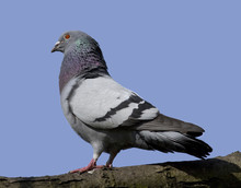 Side View Of A Feral Pigeon On A Branch