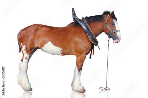 Valokuvatapetti Clydesdale horse isolated on white background.