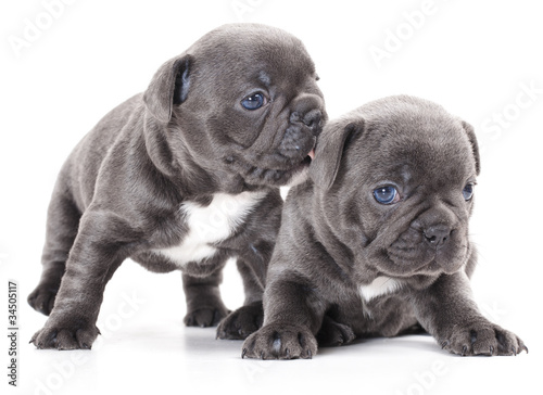 Canvas Print french bulldog puppy