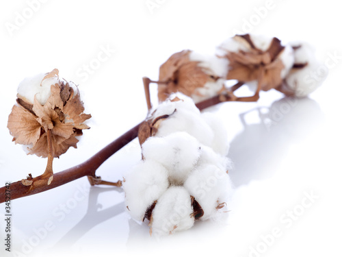 cotton flower over branch © Marco Mayer