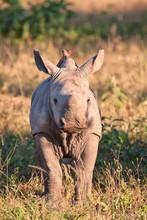 Rhino  Calf In Nature Green Grass