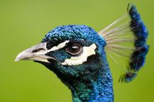 Peacock Head Closeup