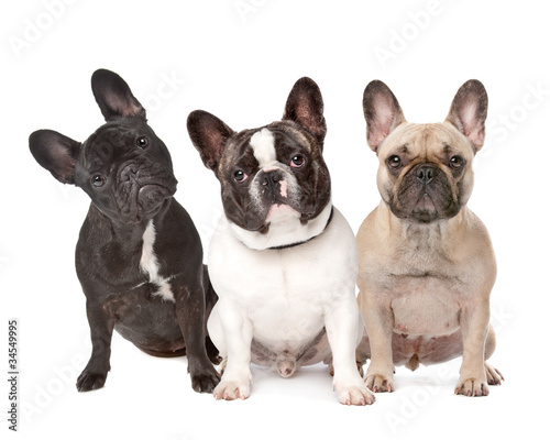 Staande foto Franse bulldog three French Bulldogs in a row