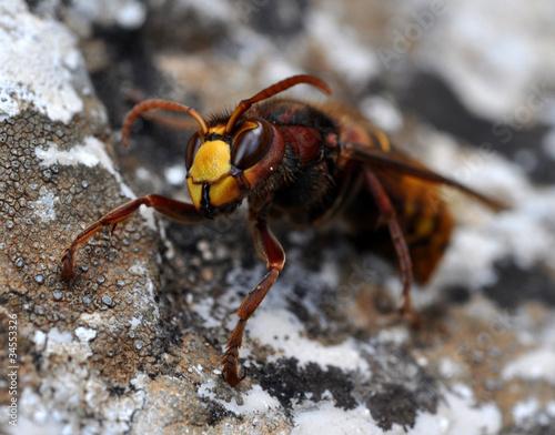 Photo  frelon sur rocher