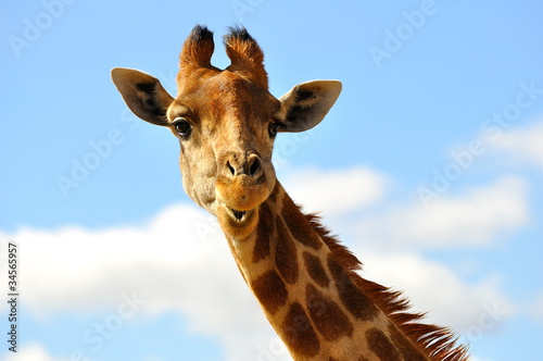 Stickers pour porte Girafe girafe sur ciel bleu 1