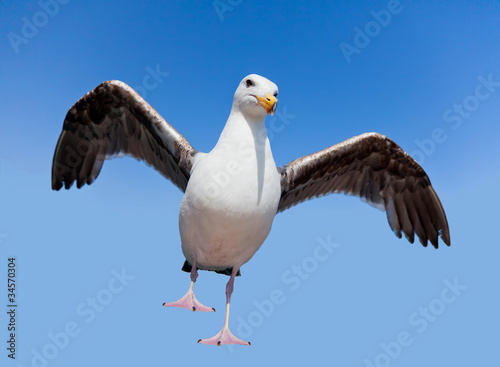 Wild angry seagull Canvas-taulu