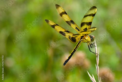Fotografie, Obraz  Dragonfly