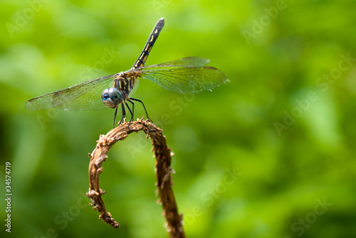 Fotografia, Obraz  Dragonfly
