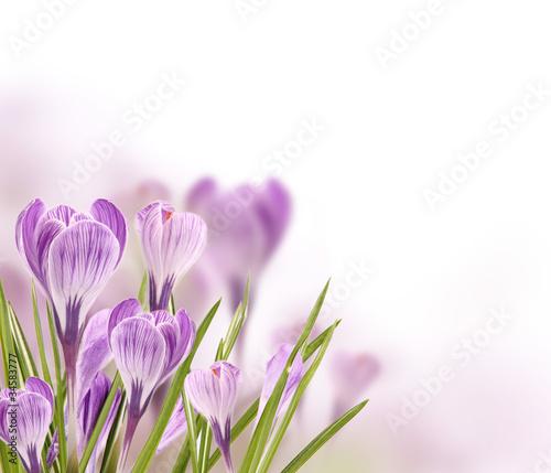 Papiers peints Crocus Crocus flowers background with free space for text