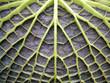 Blattunterseite der Victoria Seerose