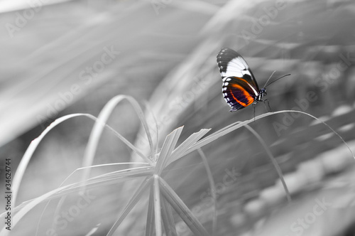 La pose en embrasure Rouge, noir, blanc Schmetterling in Farbe