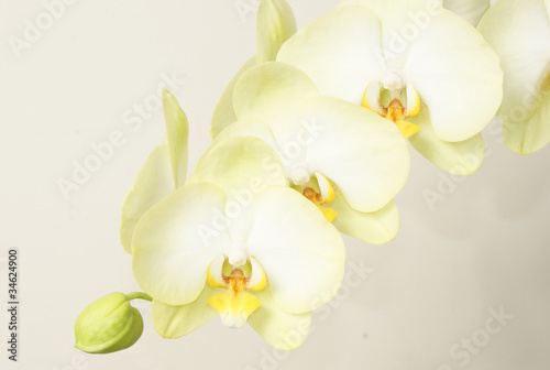 orchidea - 34624900