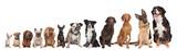 Fototapeta Zwierzęta - twelve dogs in a row