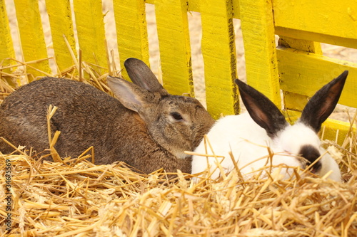Fotografie, Obraz  close-up of a californian rabbit farm in the straw