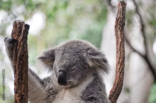 Keuken foto achterwand Koala Koala having a rest
