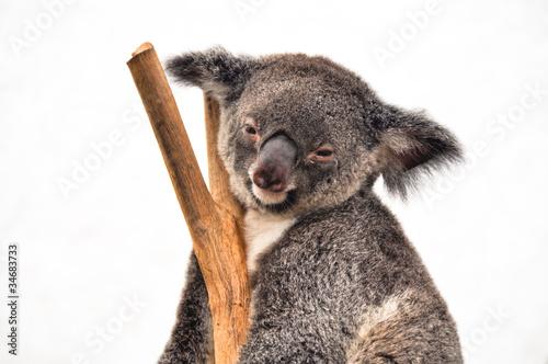 Garden Poster Koala Koala having a rest