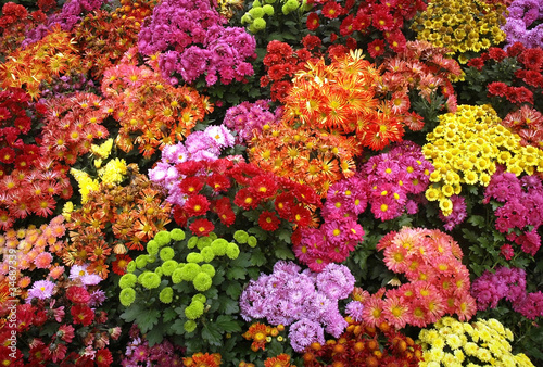 Leinwand Poster colorful chrysanthemum