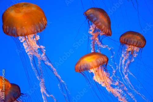 Fotografie, Obraz  Chrysaora fuscescens jellyfish