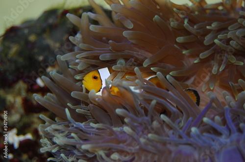 Poster Under water Pesce pagliaccio