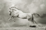 srebrno-biały ogier na czarno - 34737129