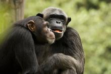Chimp Couple