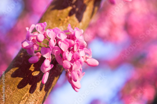 Fotografie, Obraz  Judas tree in full bloom