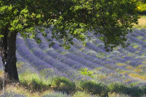 Foto auf Leinwand Lavendel Champs de lavande