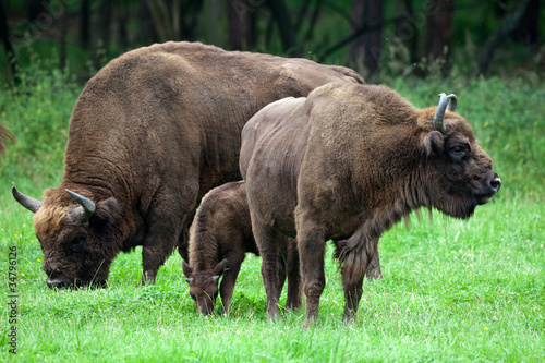 Photo  bisons family