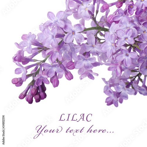 Foto op Canvas Lilac Beautiful lilac isolated on white background