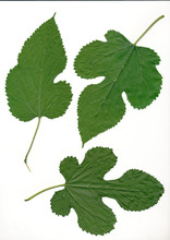 Leaves Of Mulberry Tree
