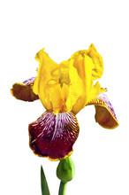 Yellow Iris On A White Background