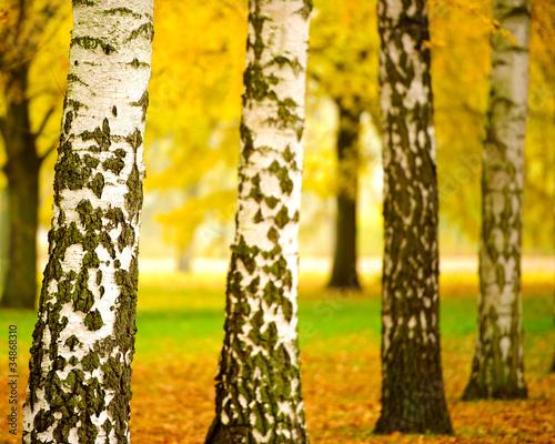 Foto op Plexiglas Berkbosje Herbstliche Stimmung in Parklandschaft 2