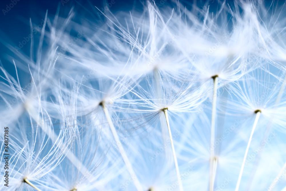 Fototapety, obrazy: The Dandelion background. Macro photo of dandelion seeds.
