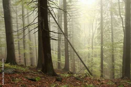Papiers peints Foret brouillard Coniferous trees in the misty early autumn forest
