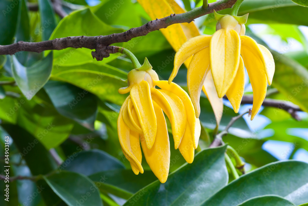 Fototapety, obrazy: Ylang-Ylang Flowers on tree