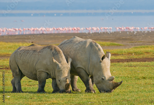In de dag Neushoorn rhinos in lake nakuru national park, kenya