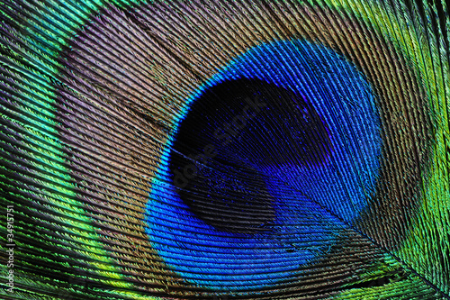 Poster Paon Peacock feather detail
