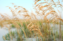 Sea Oats In The Sand Dunes At ...