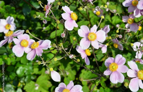Herbst Anemone Anemone Hupehensis Buy This Stock Photo And