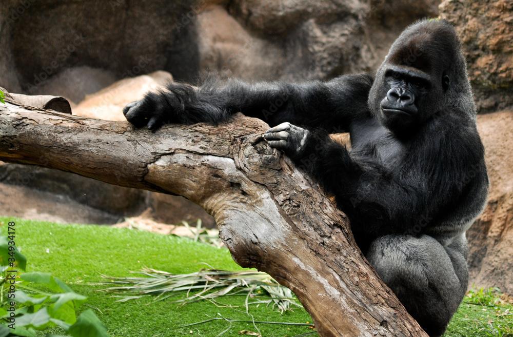 Fototapeta Pozujący dziki goryl